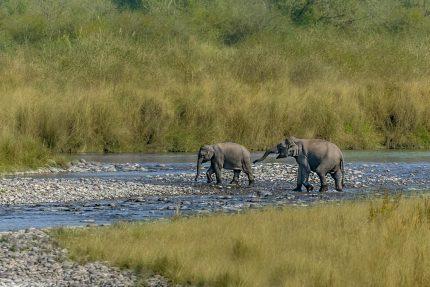 Female Elephants
