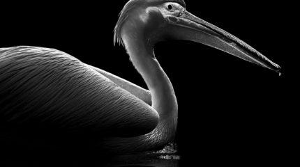 Light on pelican