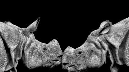 Rhinos greeting
