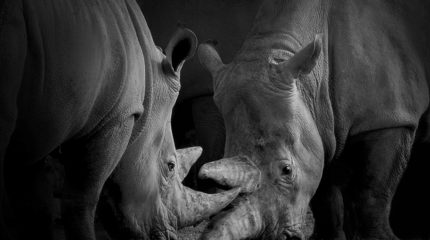 Nosy rhinos